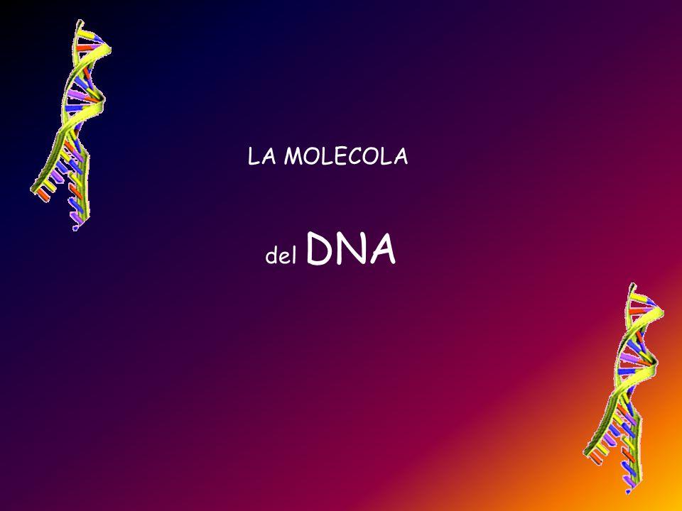 Per indicare questo fatto le estremità delle catene di DNA si indicano convenzionalmente con 5' e 3' Quindi i due filamenti di ciascuna molecola sono antiparalleli.