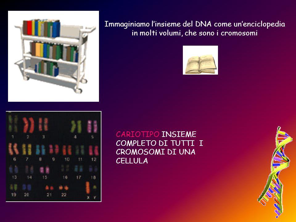 Immaginiamo l'insieme del DNA come un'enciclopedia in molti volumi, che sono i cromosomi CARIOTIPO INSIEME COMPLETO DI TUTTI I CROMOSOMI DI UNA CELLUL