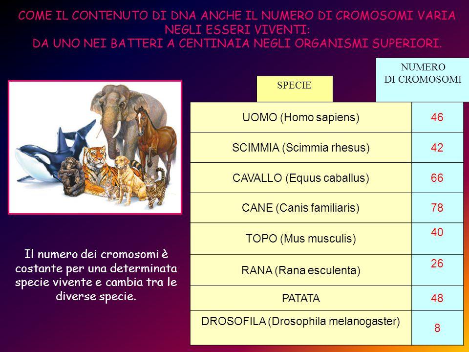 UOMO (Homo sapiens)46 SCIMMIA (Scimmia rhesus)42 CAVALLO (Equus caballus)66 CANE (Canis familiaris)78 TOPO (Mus musculis) 40 RANA (Rana esculenta) 26