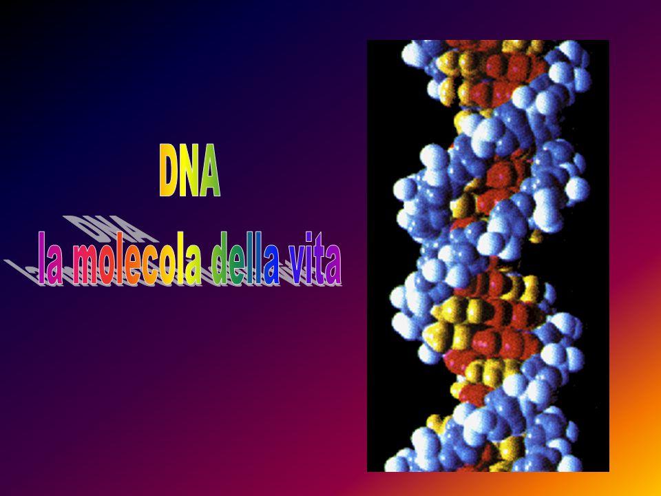 Immaginiamo l'insieme del DNA come un'enciclopedia in molti volumi, che sono i cromosomi Le lettere sono i nucleotidi, di quattro tipi quante sono le basi azotate (A, T, C, G) Tutto ciò che è scritto nei cromosomi dipende dalle infinite combinazioni di questo alfabeto di sole quattro lettere.