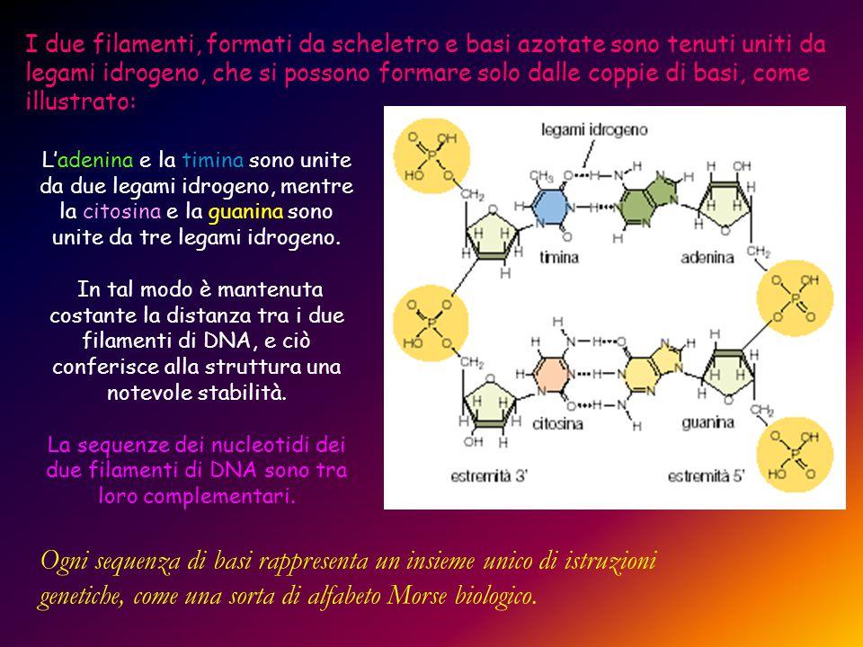 I due filamenti, formati da scheletro e basi azotate sono tenuti uniti da legami idrogeno, che si possono formare solo dalle coppie di basi, come illu