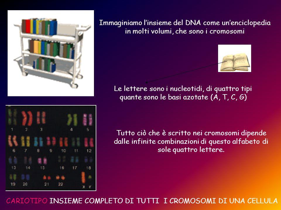 Immaginiamo l'insieme del DNA come un'enciclopedia in molti volumi, che sono i cromosomi Le lettere sono i nucleotidi, di quattro tipi quante sono le