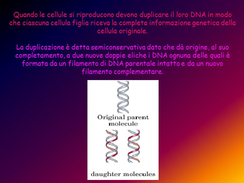 Quando le cellule si riproducono devono duplicare il loro DNA in modo che ciascuna cellula figlia riceva la completa informazione genetica della cellu