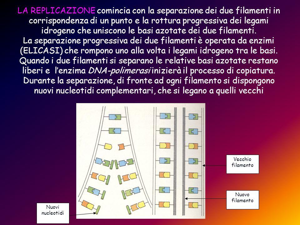 LA REPLICAZIONE comincia con la separazione dei due filamenti in corrispondenza di un punto e la rottura progressiva dei legami idrogeno che uniscono