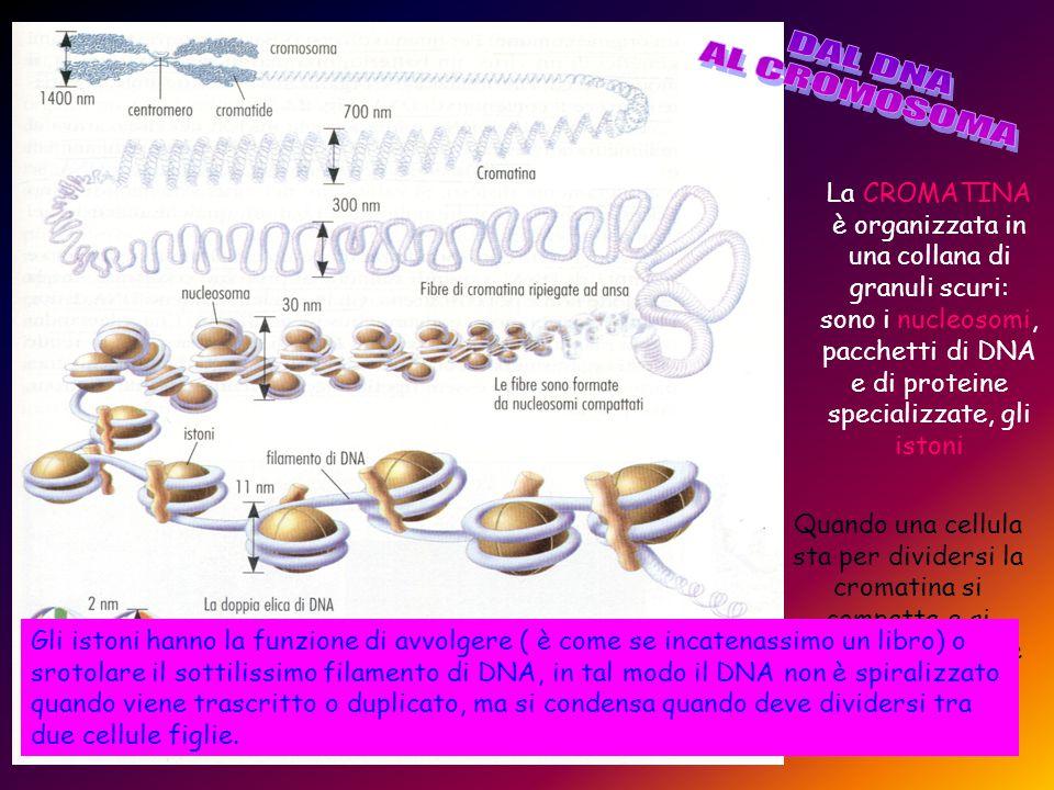 È opportuno ricordare che il DNA cellulare è contenuto all'interno di strutture chiamate cromosomi e che ciascun cromosoma contiene una singola doppia elica di DNA.