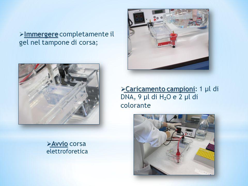 Immergere  Immergere completamente il gel nel tampone di corsa;  Caricamento campioni  Caricamento campioni: 1 µl di DNA, 9 µl di H ₂ O e 2 µl di colorante  Avvio  Avvio corsa elettroforetica