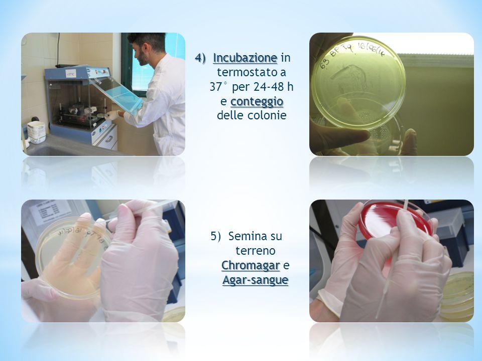 4)Incubazione conteggio 4)Incubazione in termostato a 37° per 24-48 h e conteggio delle colonie Chromagar Agar-sangue 5)Semina su terreno Chromagar e