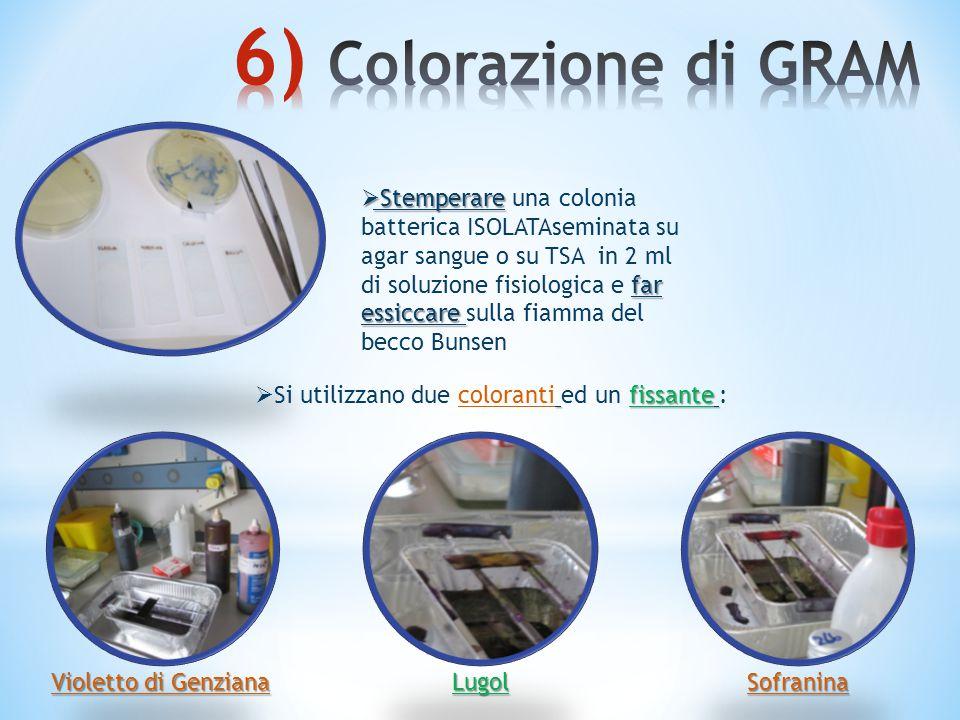  Stemperare far essiccare  Stemperare una colonia batterica ISOLATAseminata su agar sangue o su TSA in 2 ml di soluzione fisiologica e far essiccare