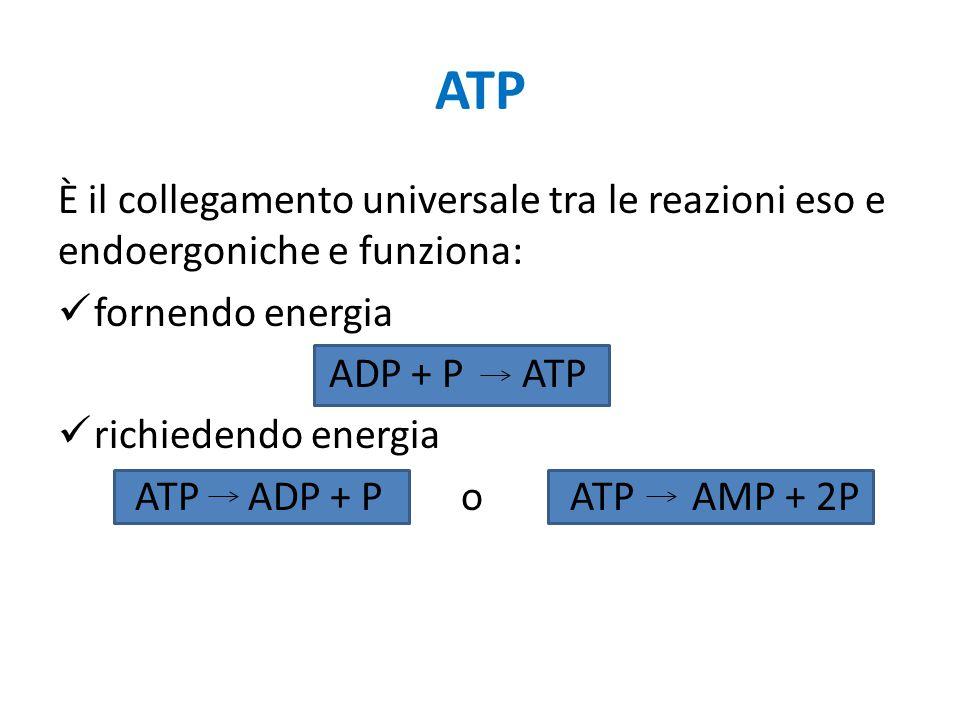 ATP È il collegamento universale tra le reazioni eso e endoergoniche e funziona: fornendo energia ADP + P ATP richiedendo energia ATP ADP + P o ATP AM