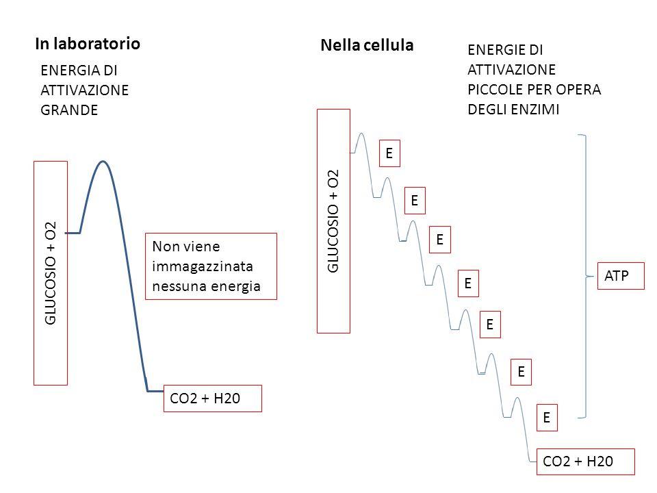 In laboratorio Nella cellula ENERGIA DI ATTIVAZIONE GRANDE GLUCOSIO + O2 CO2 + H20 GLUCOSIO + O2 CO2 + H20 ENERGIE DI ATTIVAZIONE PICCOLE PER OPERA DE