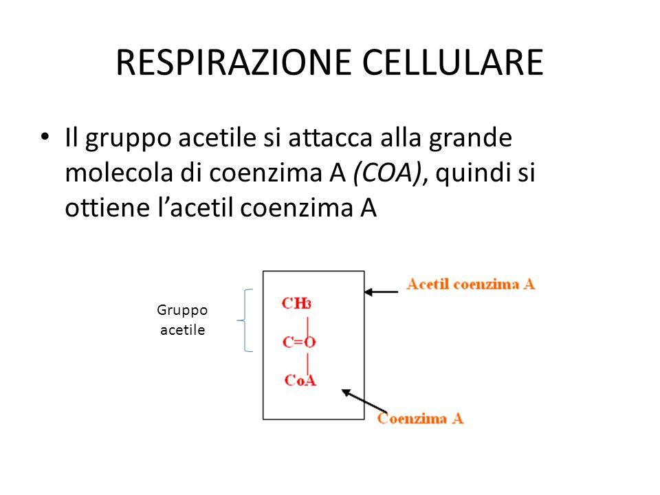 RESPIRAZIONE CELLULARE Il gruppo acetile si attacca alla grande molecola di coenzima A (COA), quindi si ottiene l'acetil coenzima A Gruppo acetile