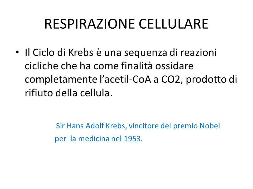 RESPIRAZIONE CELLULARE Il Ciclo di Krebs è una sequenza di reazioni cicliche che ha come finalità ossidare completamente l'acetil-CoA a CO2, prodotto