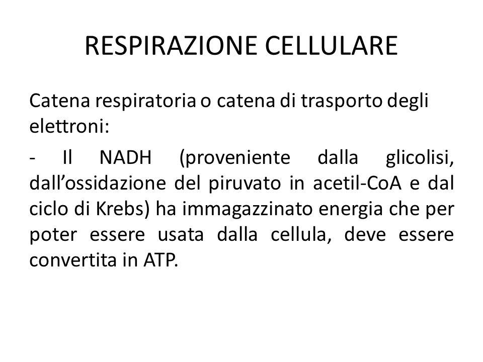 RESPIRAZIONE CELLULARE Catena respiratoria o catena di trasporto degli elettroni: - Il NADH (proveniente dalla glicolisi, dall'ossidazione del piruvat