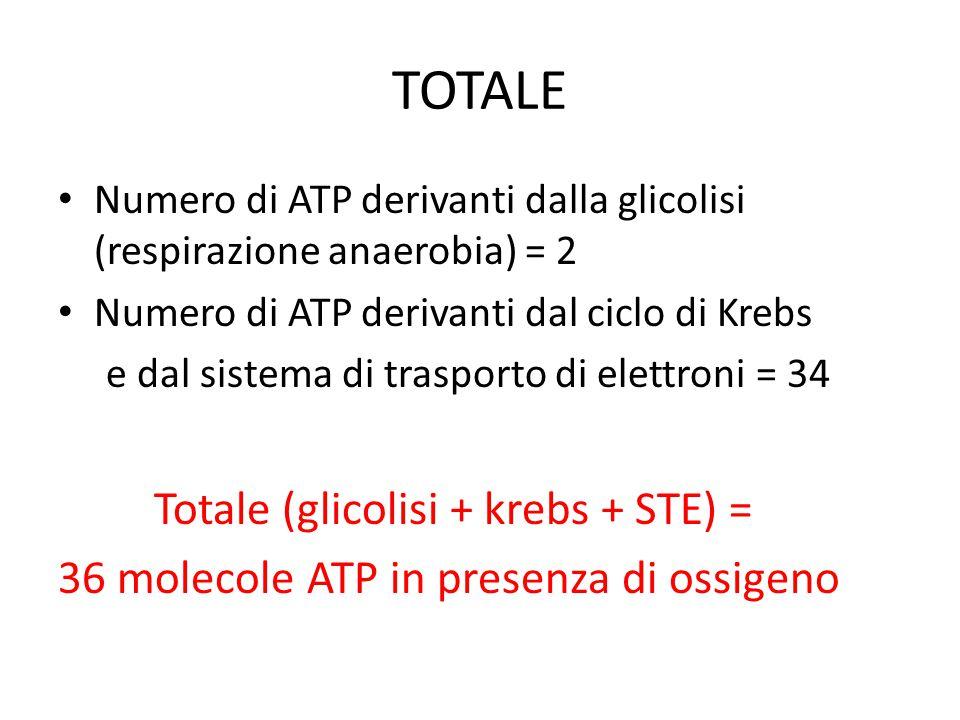 TOTALE Numero di ATP derivanti dalla glicolisi (respirazione anaerobia) = 2 Numero di ATP derivanti dal ciclo di Krebs e dal sistema di trasporto di e