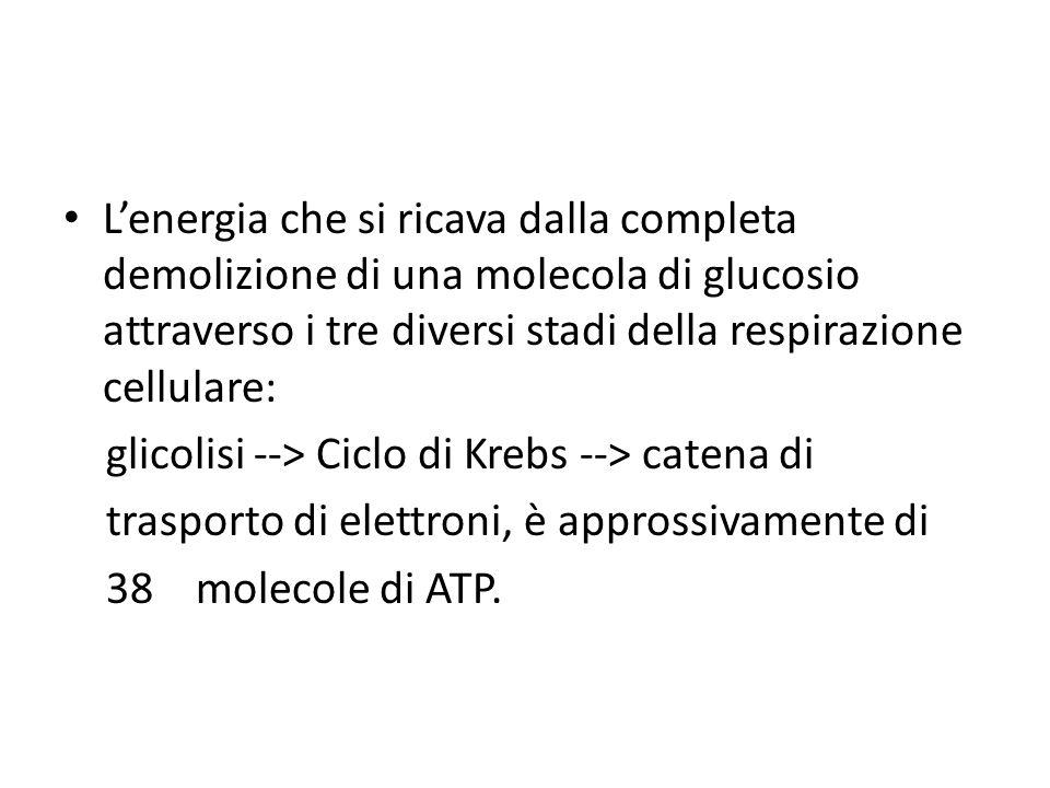 L'energia che si ricava dalla completa demolizione di una molecola di glucosio attraverso i tre diversi stadi della respirazione cellulare: glicolisi