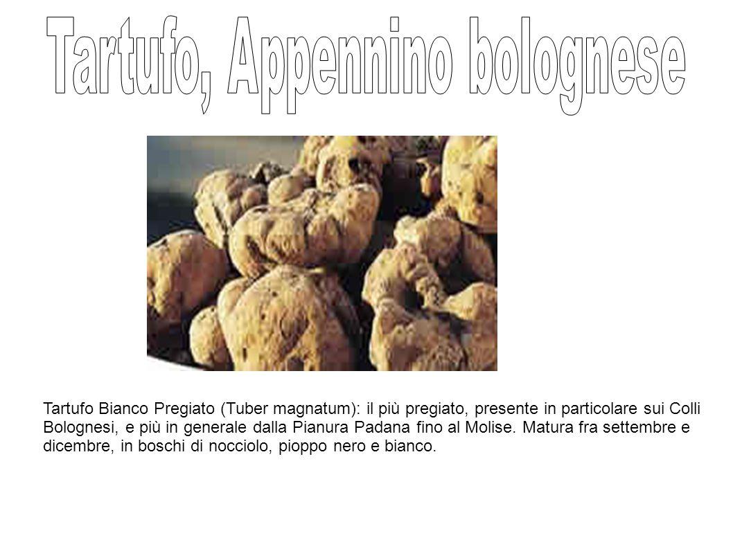 Tartufo Bianco Pregiato (Tuber magnatum): il più pregiato, presente in particolare sui Colli Bolognesi, e più in generale dalla Pianura Padana fino al Molise.