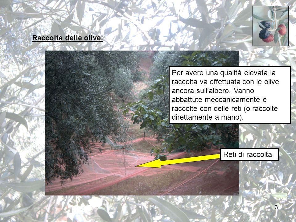 3 Raccolta delle olive: Per avere una qualità elevata la raccolta va effettuata con le olive ancora sull'albero.