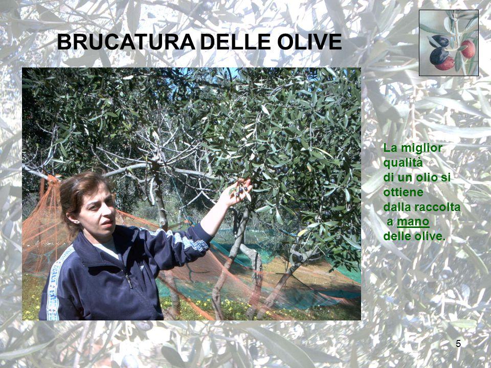 5 BRUCATURA DELLE OLIVE La miglior qualità di un olio si ottiene dalla raccolta a mano delle olive.