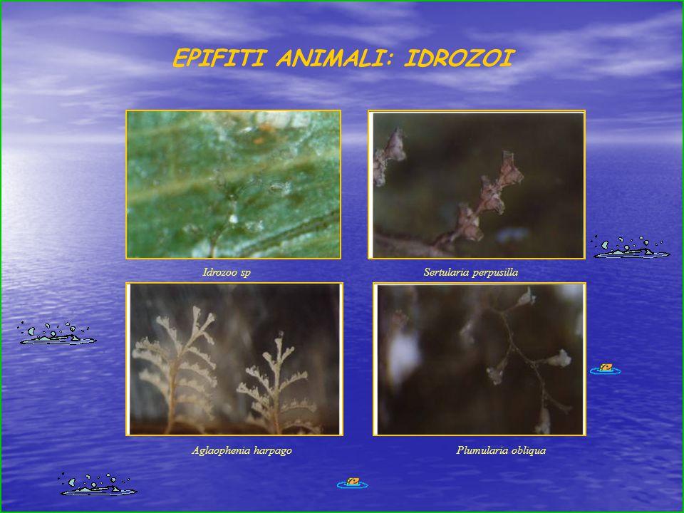 Sertularia perpusilla Aglaophenia harpagoPlumularia obliqua Idrozoo sp EPIFITI ANIMALI: IDROZOI