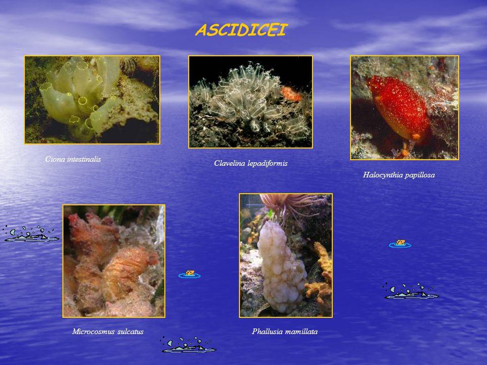 ASCIDICEI Ciona intestinalis Clavelina lepadiformis Halocynthia papillosa Microcosmus sulcatusPhallusia mamillata