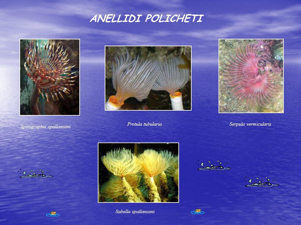 ANELLIDI POLICHETI Spirographis spallanzani Protula tubulariaSerpula vermicularis Sabella spallanzani