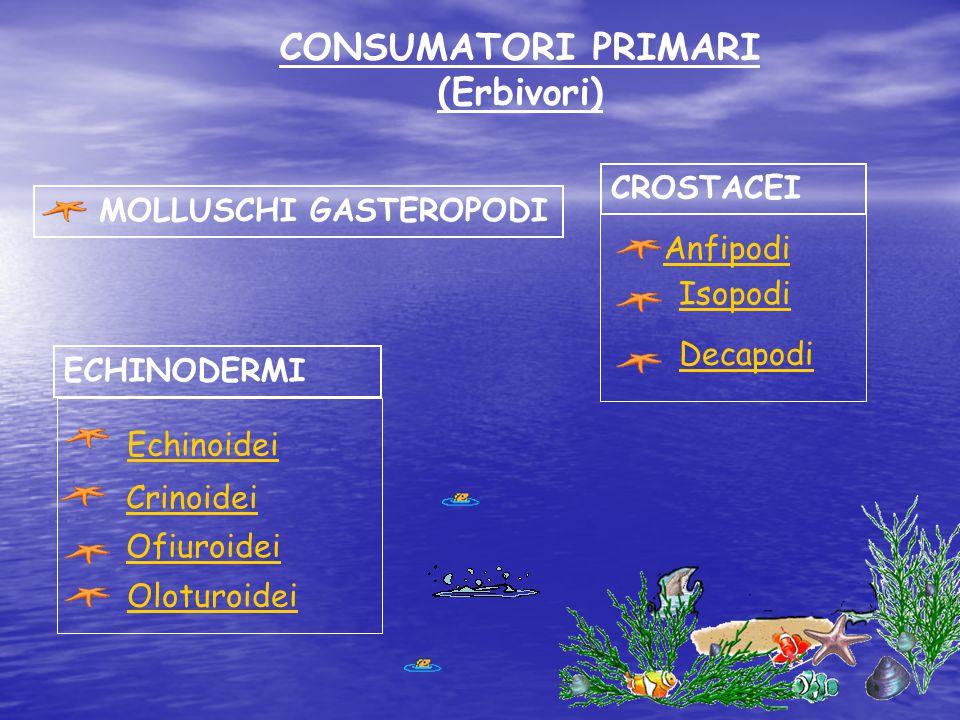 CONSUMATORI PRIMARI (Erbivori) ECHINODERMI MOLLUSCHI GASTEROPODI Echinoidei Crinoidei Ofiuroidei Oloturoidei CROSTACEI Anfipodi Isopodi Decapodi