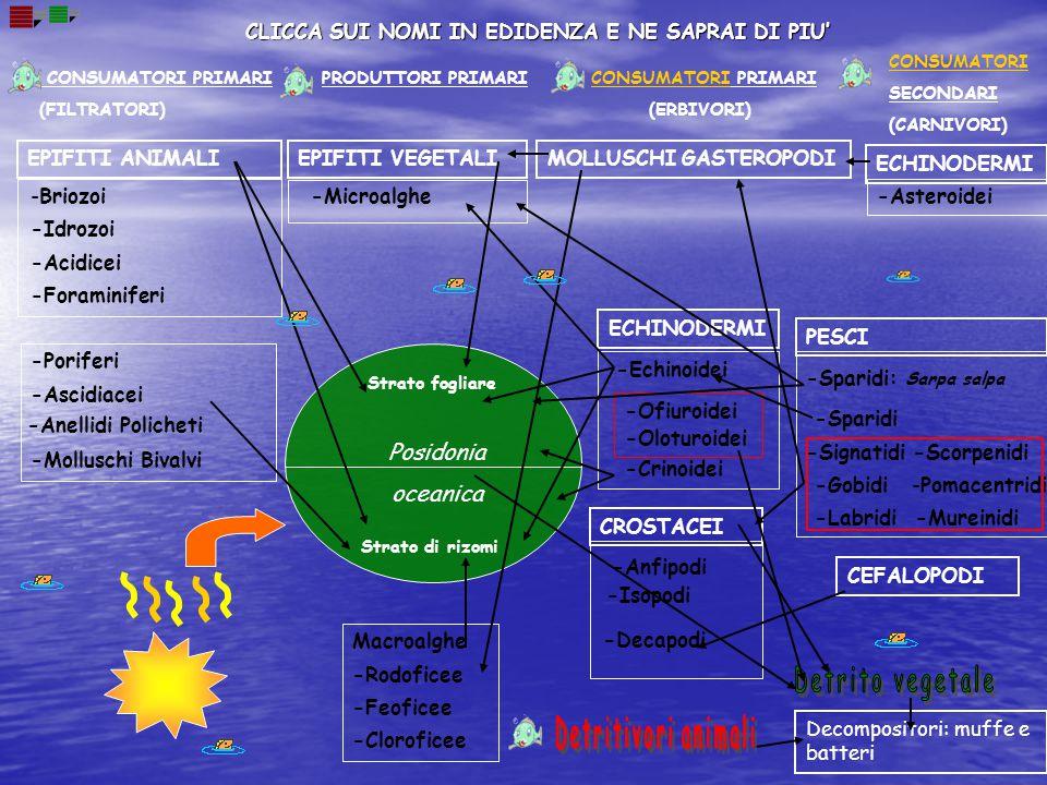 CONSUMATORI PRIMARI (FILTRATORI) PRODUTTORI PRIMARI CONSUMATORI SECONDARI (CARNIVORI) CONSUMATORI PRIMARI (ERBIVORI) Strato fogliare Posidonia oceanic