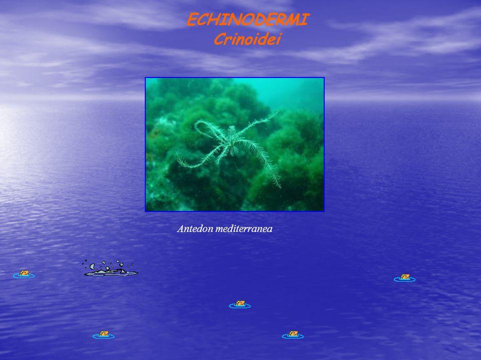 ECHINODERMI Crinoidei Antedon mediterranea