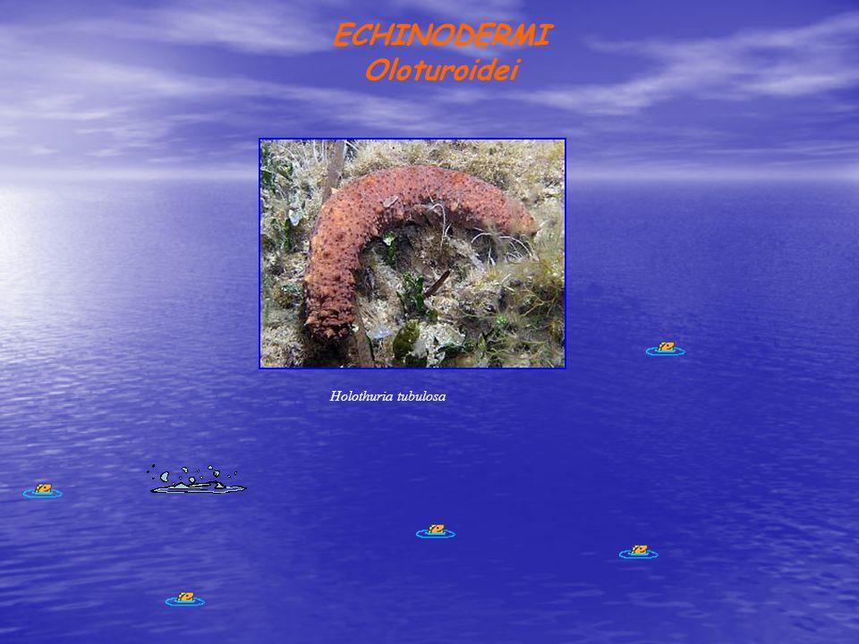 ECHINODERMI Oloturoidei Holothuria tubulosa