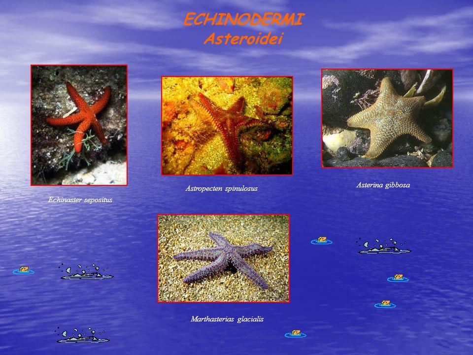 ECHINODERMI Asteroidei Astropecten spinulosus Asterina gibbosa Marthasterias glacialis Echinaster sepositus
