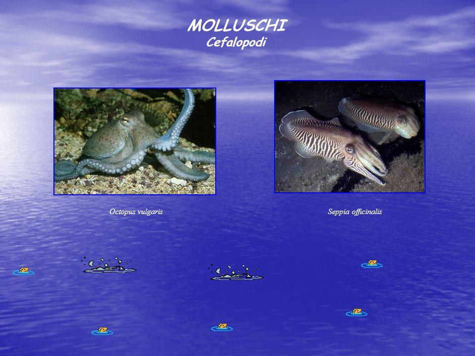 MOLLUSCHI Cefalopodi Seppia officinalisOctopus vulgaris