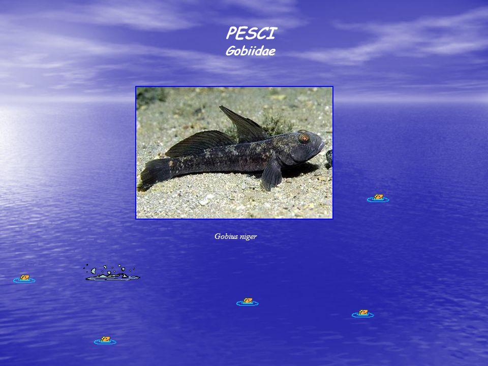 PESCI Gobiidae Gobius niger