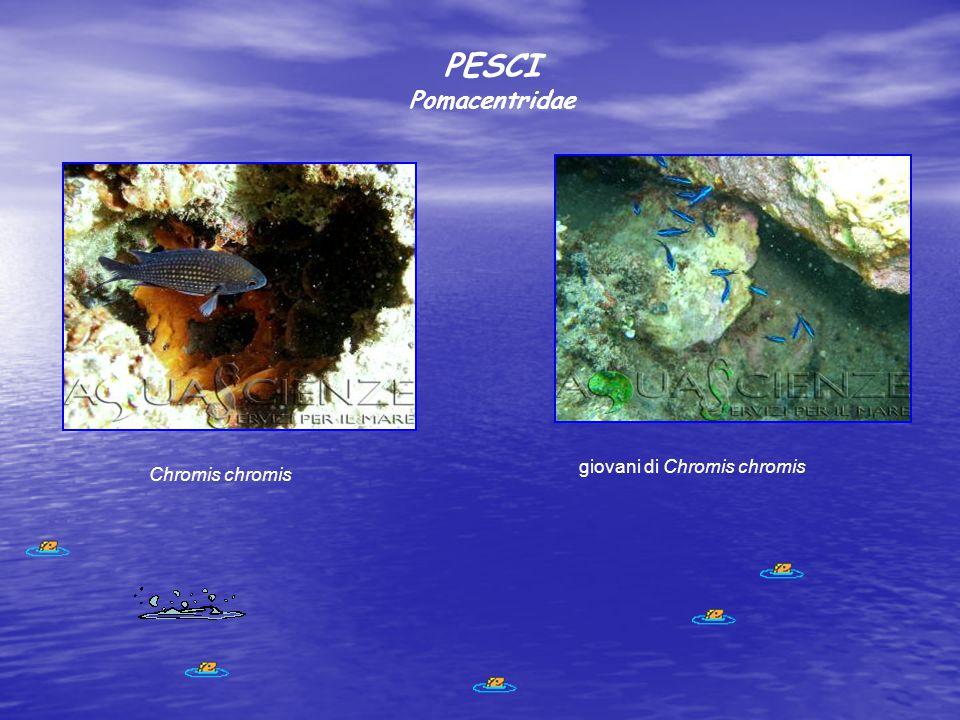 PESCI Pomacentridae Chromis chromis giovani di Chromis chromis