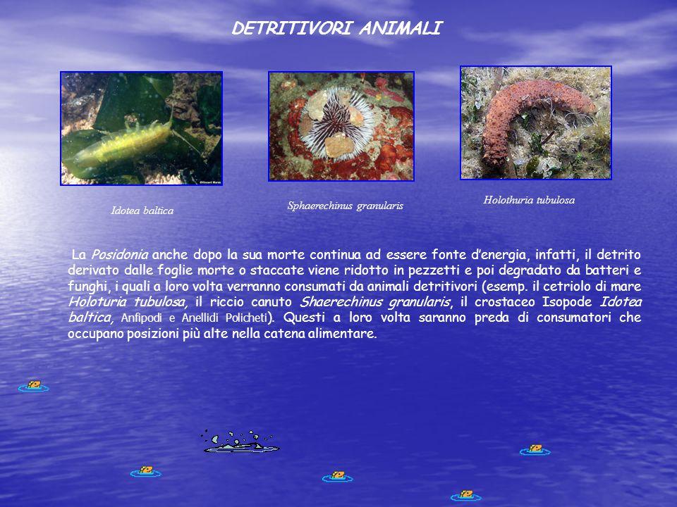 DETRITIVORI ANIMALI La Posidonia anche dopo la sua morte continua ad essere fonte d'energia, infatti, il detrito derivato dalle foglie morte o staccat