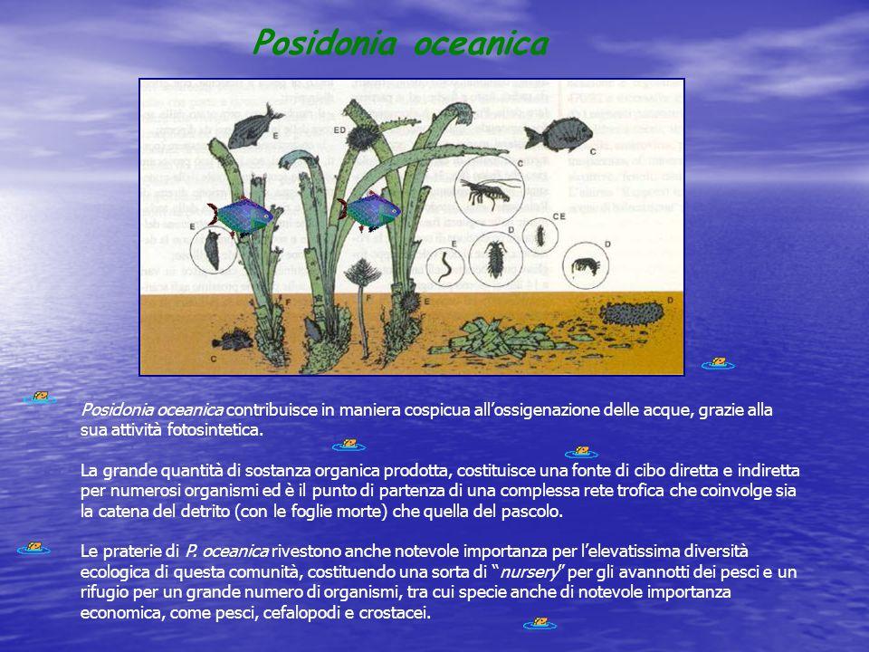 Posidonia oceanica Posidonia oceanica contribuisce in maniera cospicua all'ossigenazione delle acque, grazie alla sua attività fotosintetica. La grand