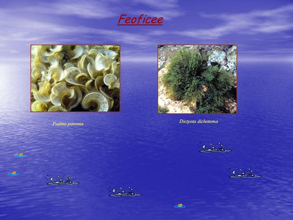 Feoficee Padina pavonia Dictyota dichotoma