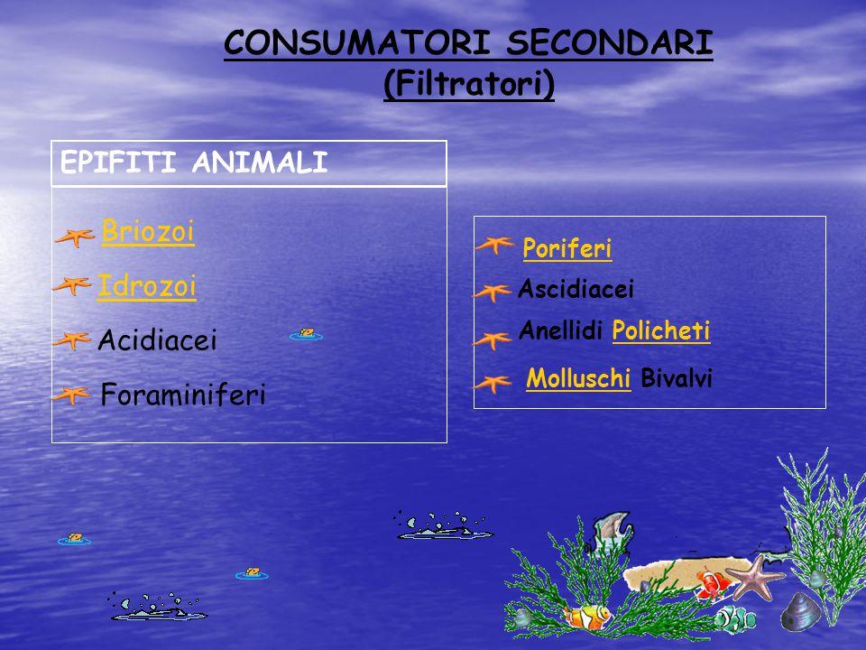 CONSUMATORI SECONDARI (Filtratori) EPIFITI ANIMALI Idrozoi Briozoi Acidiacei Foraminiferi Poriferi Ascidiacei Anellidi PolichetiPolicheti Molluschi Bi