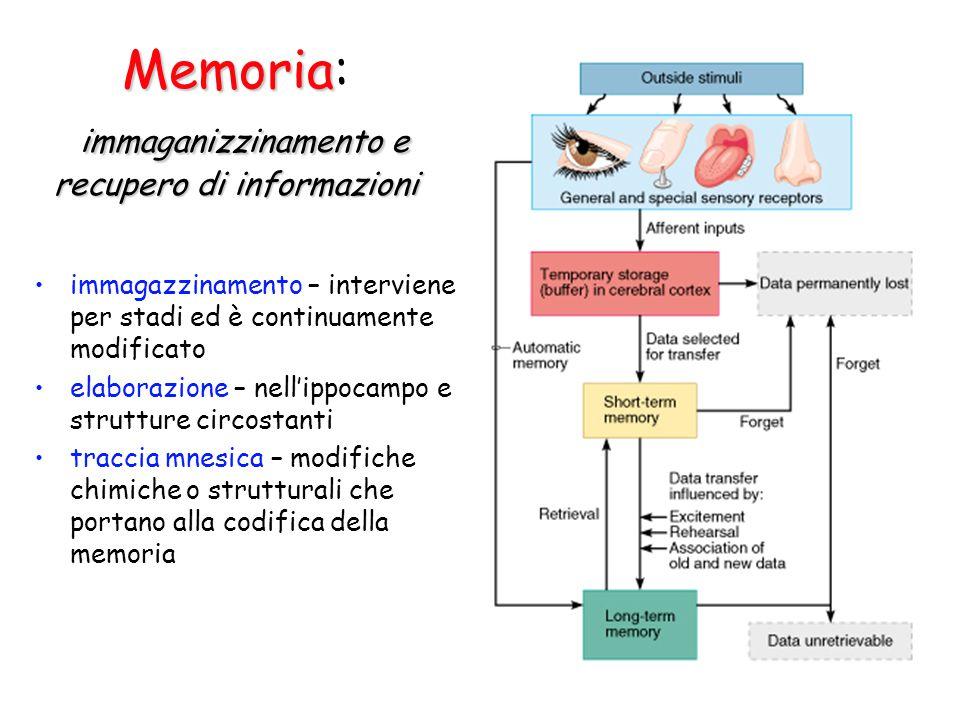 Memoria immaganizzinamento e recupero di informazioni Memoria: immaganizzinamento e recupero di informazioni immagazzinamento – interviene per stadi ed è continuamente modificato elaborazione – nell'ippocampo e strutture circostanti traccia mnesica – modifiche chimiche o strutturali che portano alla codifica della memoria