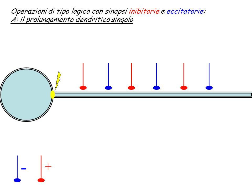 - + Operazioni di tipo logico con sinapsi inibitorie e eccitatorie: A: il prolungamento dendritico multiplo