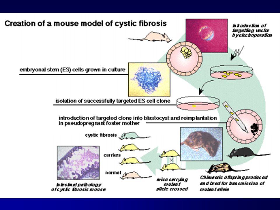 CFTR -terapia genica Necessità di intervenire in vivo Risultati sperimentali : Topo KO (patologia polmonare modesta) instillazione tracheale di liposoma-CFTR: promettente Tossicità vettori virali testata su diverse specie animali risultato variabile