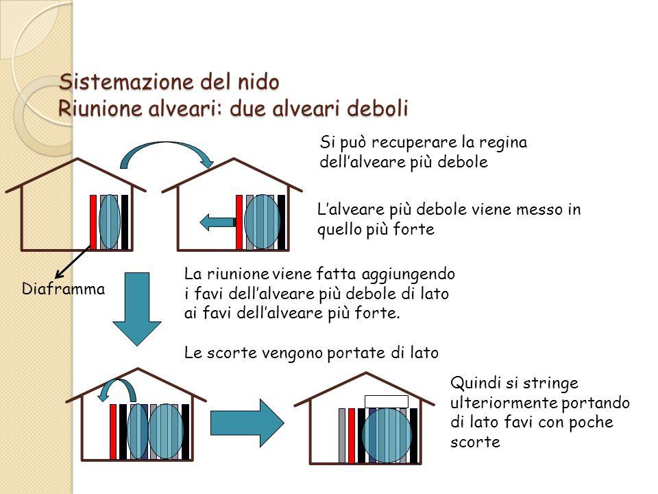 Sistemazione del nido Riunione alveari: due alveari deboli L'alveare più debole viene messo in quello più forte La riunione viene fatta aggiungendo i favi dell'alveare più debole di lato ai favi dell'alveare più forte.
