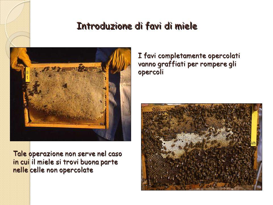 Introduzione di favi di miele I favi completamente opercolati vanno graffiati per rompere gli opercoli Tale operazione non serve nel caso in cui il miele si trovi buona parte nelle celle non opercolate