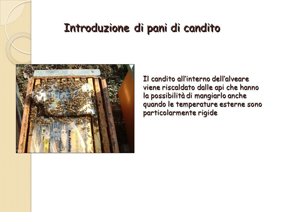Introduzione di pani di candito Il candito all'interno dell'alveare viene riscaldato dalle api che hanno la possibilità di mangiarlo anche quando le temperature esterne sono particolarmente rigide