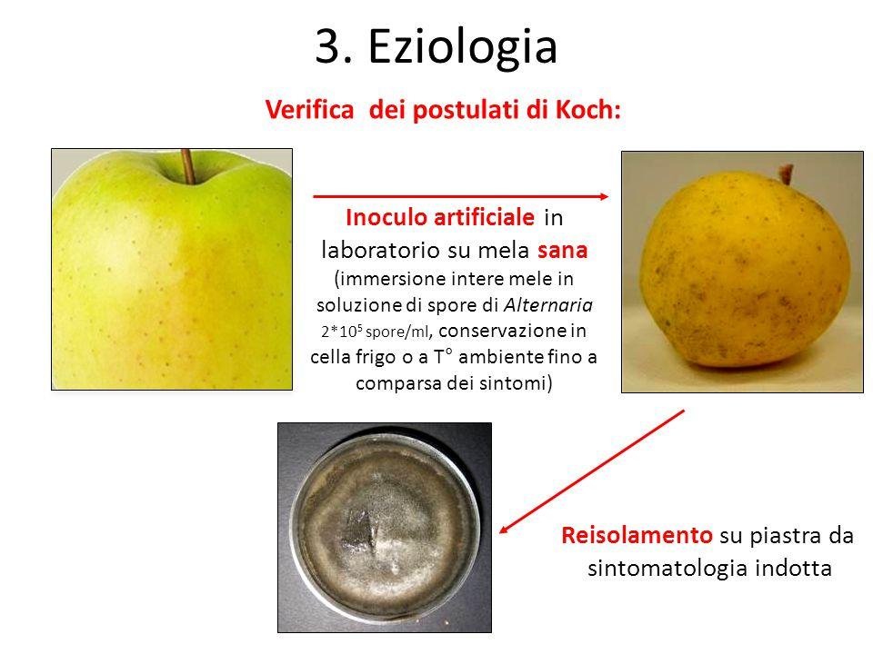 Reisolamento su piastra da sintomatologia indotta Inoculo artificiale in laboratorio su mela sana (immersione intere mele in soluzione di spore di Alt