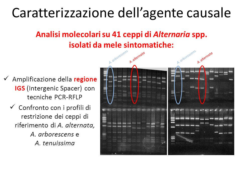 Amplificazione della regione IGS (Intergenic Spacer) con tecniche PCR-RFLP Confronto con i profili di restrizione dei ceppi di riferimento di A. alter