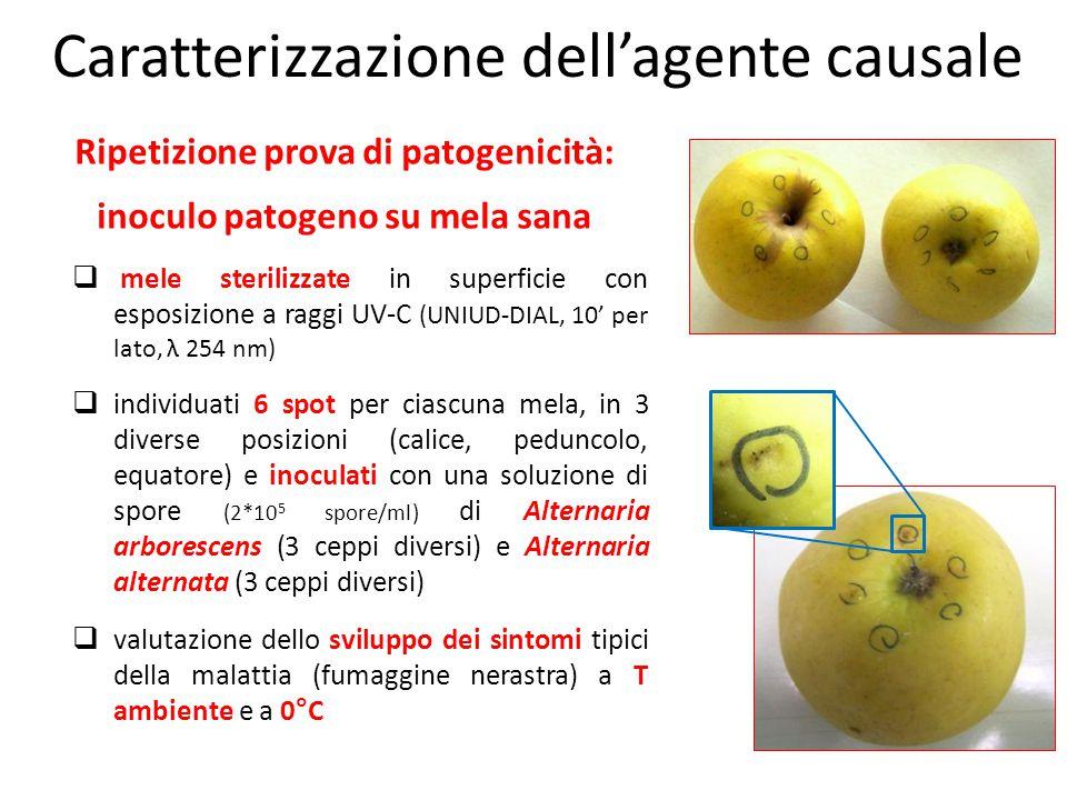 Ripetizione prova di patogenicità: inoculo patogeno su mela sana  mele sterilizzate in superficie con esposizione a raggi UV-C (UNIUD-DIAL, 10' per l