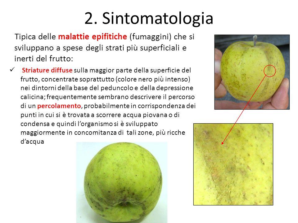 2. Sintomatologia Tipica delle malattie epifitiche (fumaggini) che si sviluppano a spese degli strati più superficiali e inerti del frutto: Striature