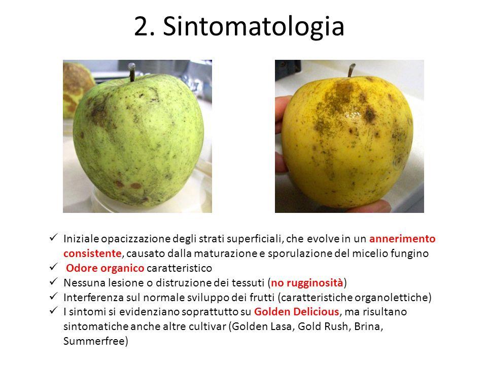 2. Sintomatologia Iniziale opacizzazione degli strati superficiali, che evolve in un annerimento consistente, causato dalla maturazione e sporulazione
