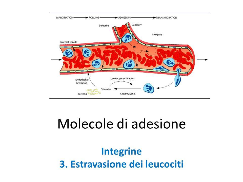 Molecole di adesione Integrine 3. Estravasione dei leucociti