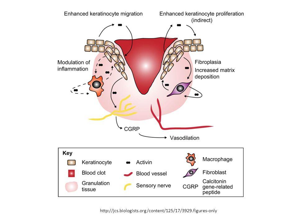 Un cambiamento di iespressione si integrine aiuta la migrazione dei cheratinociti (cellule dell'epidermide) sulla pelle ferita.